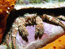 17. Speckled Hermit Crab