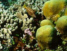 11. Juvenile Filefish