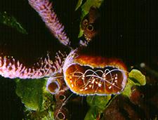 15. Banded Coral Shrimps