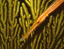 12. Orange Trumpetfish