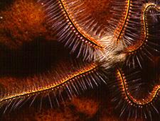 10. Brittle Starfish
