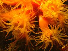 9. Orange Cup Coral