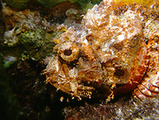 2. Spotted Scorpionfish