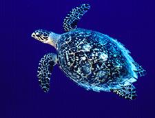 1. Hawksbill  Sea Turtle